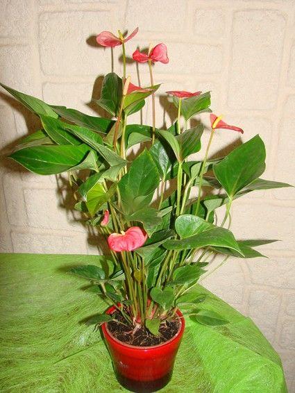 Anthurium c 39 est une plante d 39 int rieur qui fait partie de for Arrosage plante interieur