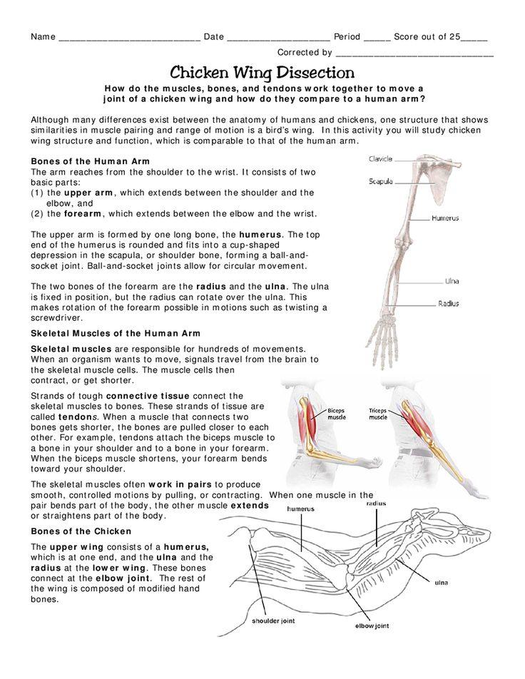 Ziemlich Bird Wing Anatomy Bones Bilder Menschliche Anatomie
