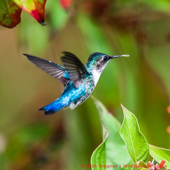 Given the location (Cuba), it is unquestionably a Bee Hummingbird.