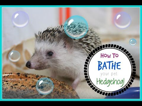 How To Bath Your Hedgehog! - YouTube