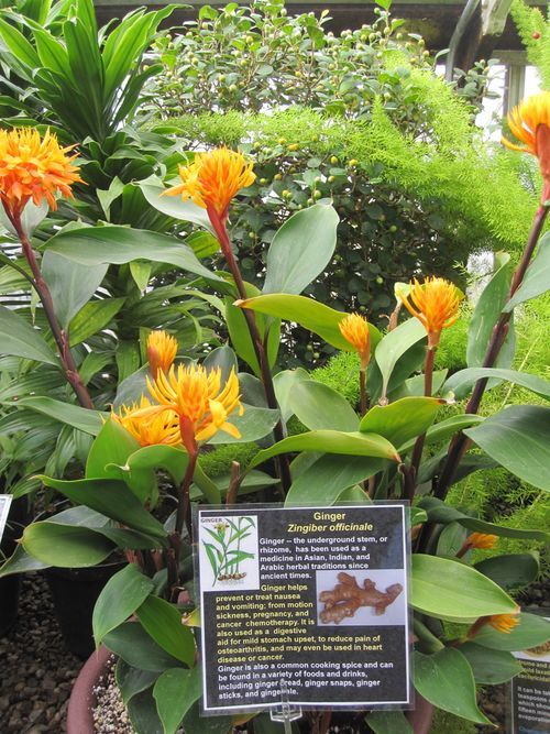 Buy some ginger root at the grocery store and then plant in a pot or ground. An easy and beautiful tropical plant.