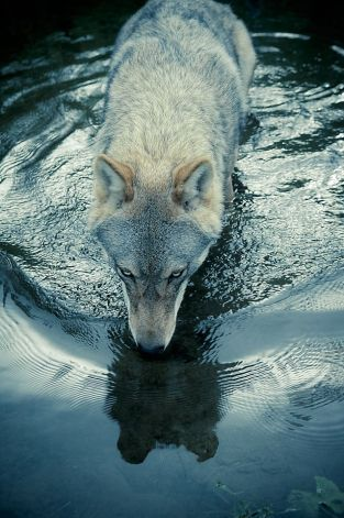 cheap sportswear uk online This shot of a wolf slaking its thirst by Christian Houge     34 Untitled 3  34    is from his painstaking work with wolf packs in Norway  Photo  Hosfelt Gallery