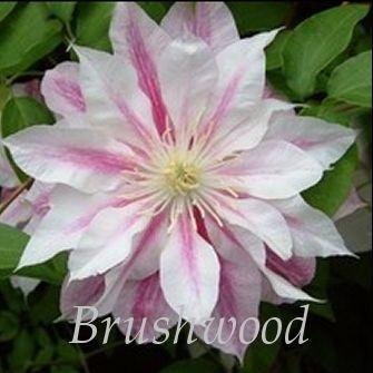 Clematis Andromeda 14 95 Single Flowerswhite Flowersflowering