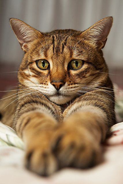 Tao the Bengal Cat by Mark Perry Images.