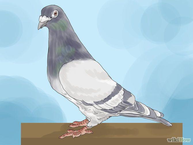 Train a Homing Pigeon Step 1.jpg