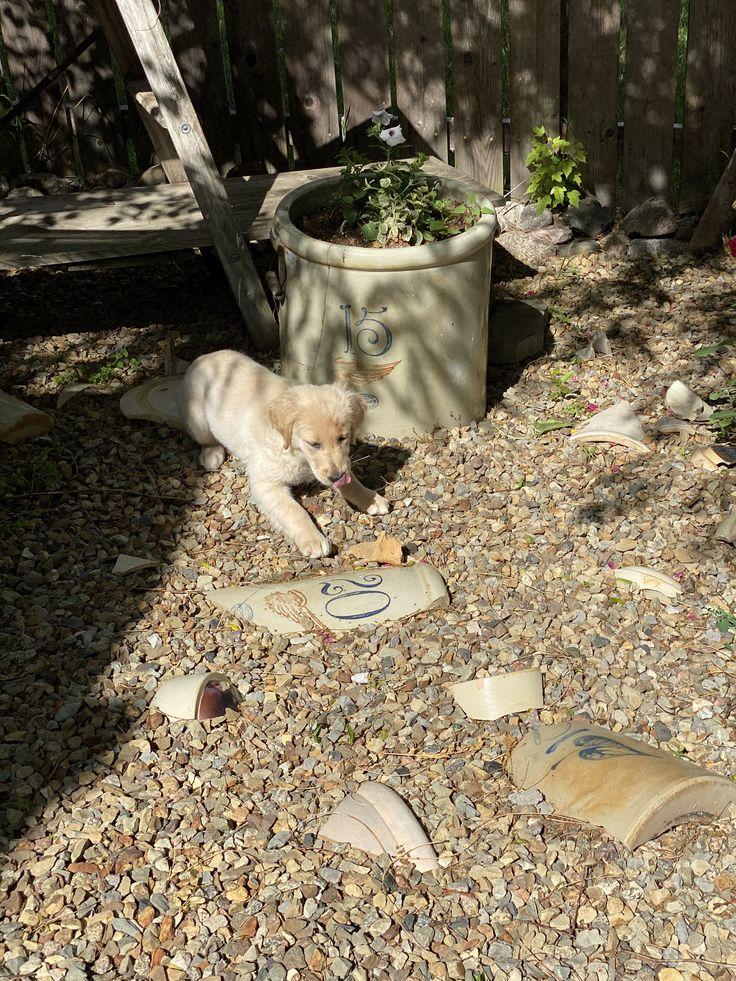 Pin by Dakota Foot & Ankle Clinic on Golden Retrievers in