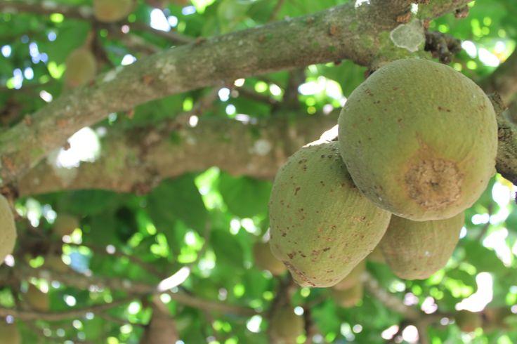 Arboles frutales sede pance
