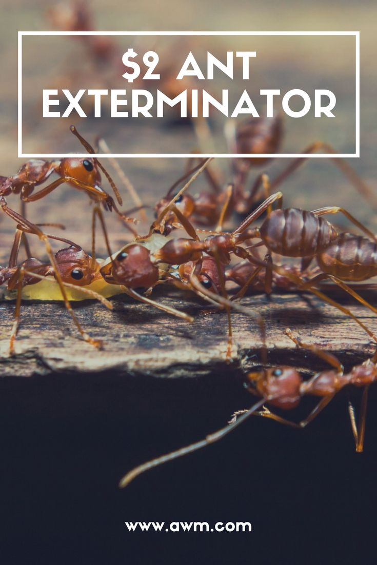 $2 Ant Exterminator - With a cheap simple mixture, you can rid your home of ants at the source. I am definitely trying this