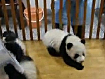 Baby Panda Escape!  The Cute Animal Video Of The Day!!!  ... see more at PetsLady.com ... The FUN site for Animal Lovers