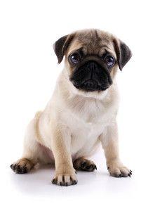 As melhores dicas para quem tem um dos melhores cachorros!  #pug #cachorro #adestrar #pets #animais