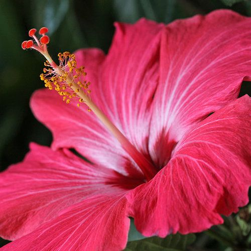 ~~Longing for Spring ~ hibiscus by Lynn Gedeon~~