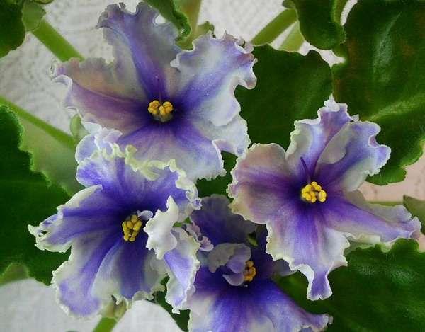 ЕК-Наутилус (Коршунова) Крупные полумахровые гофрированно-фестончатые тональные бело-сине-голубые анютки. По центру лепестка сине-голубая полоса, широкая светлая кайма и тонкий белый кант. Зеленая листва с темными пятнами. 2006 г