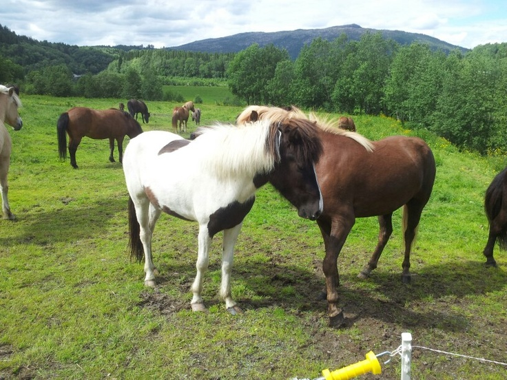 Islandic horses :)