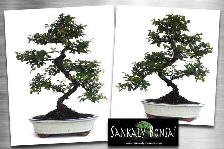1000 images about bonsai on pinterest maple bonsai unique and java. Black Bedroom Furniture Sets. Home Design Ideas