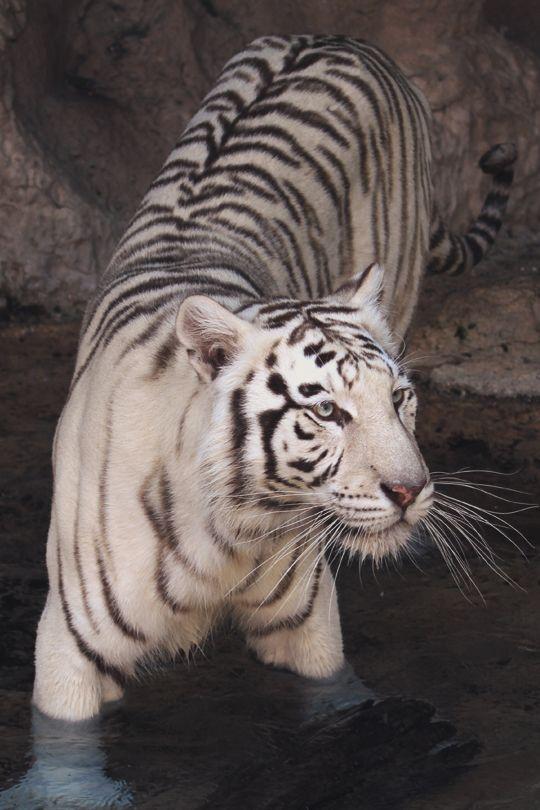 vividessentials:White Bengal Tiger | vividessentials
