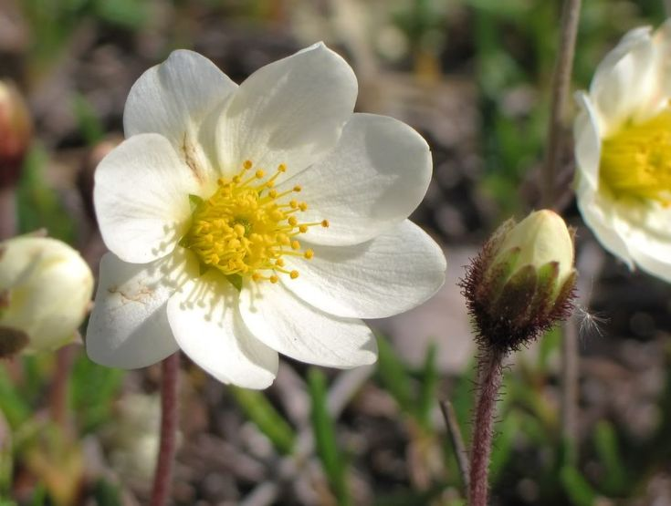 provincial flower of north west territory... - Mountain avens