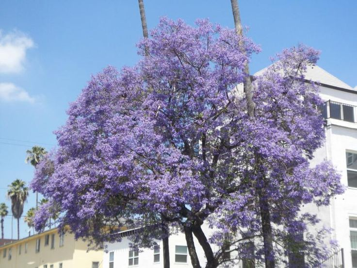 Purple Flowering Trees | The color purple is rampant this time of year in Southern California.