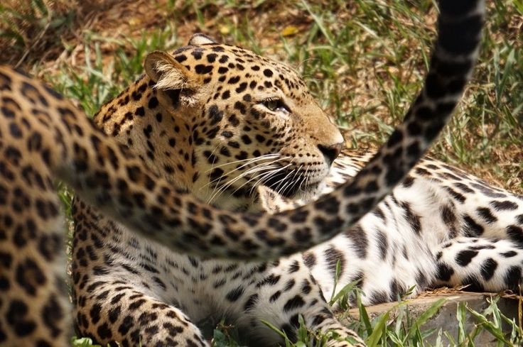 A cheetah abruptly gets up and leaves his partner at the Trivandrum Zoo in India's Kerala state.