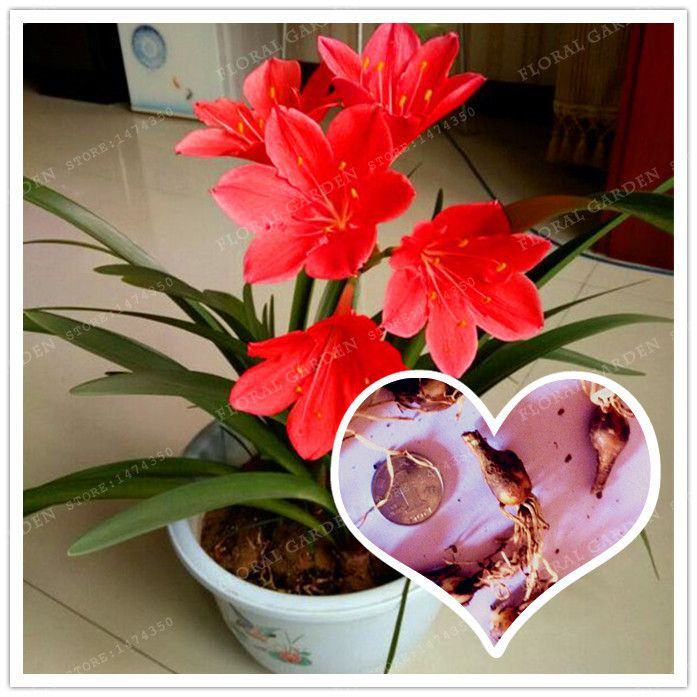 2 Bulbs Red Zephyranthes Candida Bulbs,,(Not Zephyranthes Candida Seeds),Flower Bulbs,Outdoor Plant,Natural Growth,Bonsai