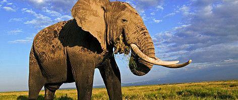 Afrikaanse olifant in het  Amboseli National Park, Kenia