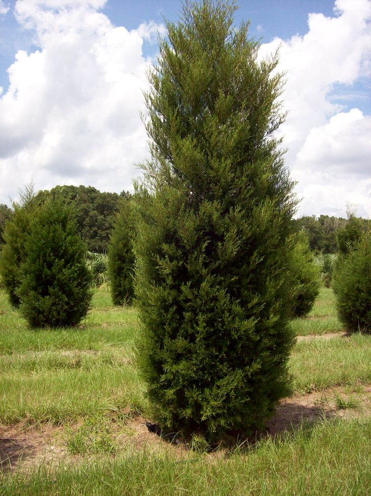 Best images about juniperus on pinterest red cedar