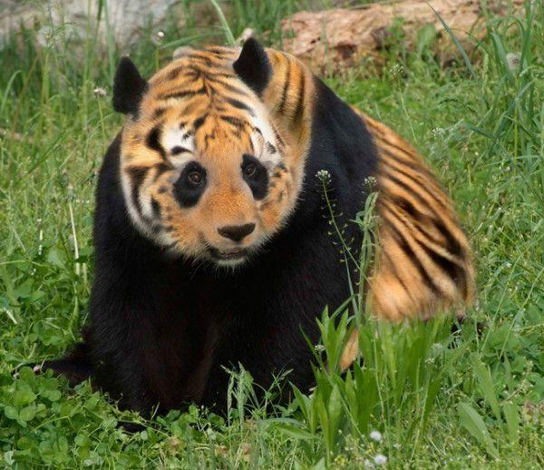 Tiger hybrid - photo#34