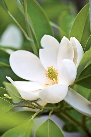 SWEETBAY MAGNOLIA  Magnolia virginiana and M. virginiana var. australis