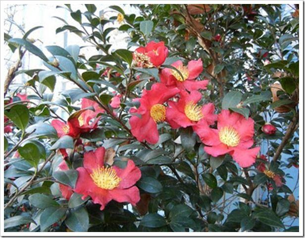 Southern Camellias Yuletide Camellia Camellia Blue Hosta