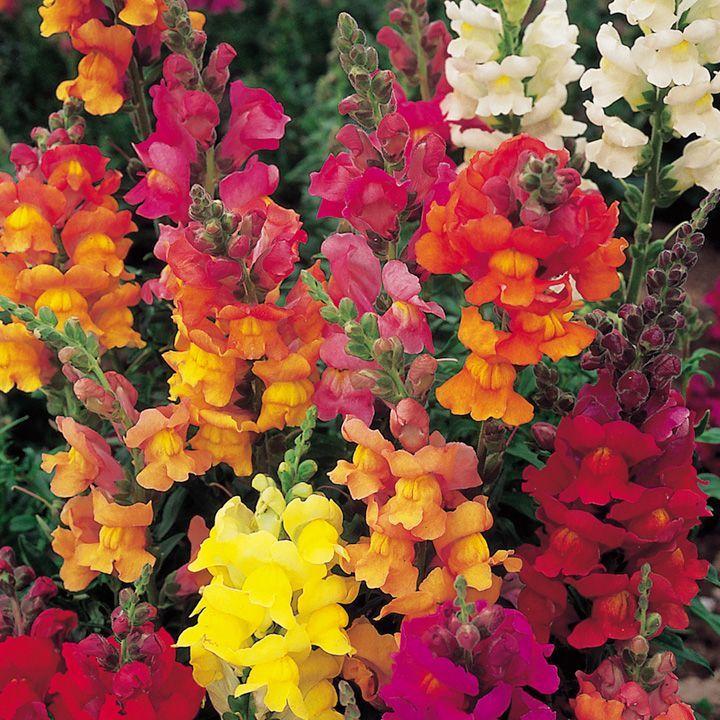 Antirrhinum Illumination Mix Seeds - Suttons Seeds and Plants