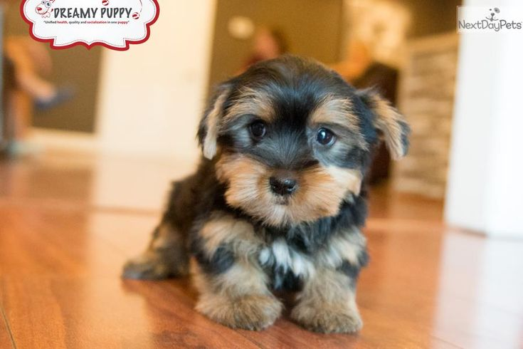 Meet Female a cute Yorkshire Terrier - Yorkie puppy for sale for $1,299. TOY YORKSHIRE TERRIER PUPPY AVAILABLE TODAY!