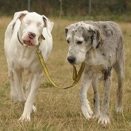 A blind dog's seeing eye dog. This story is heartwarming. Proof of the love animals have for one another.