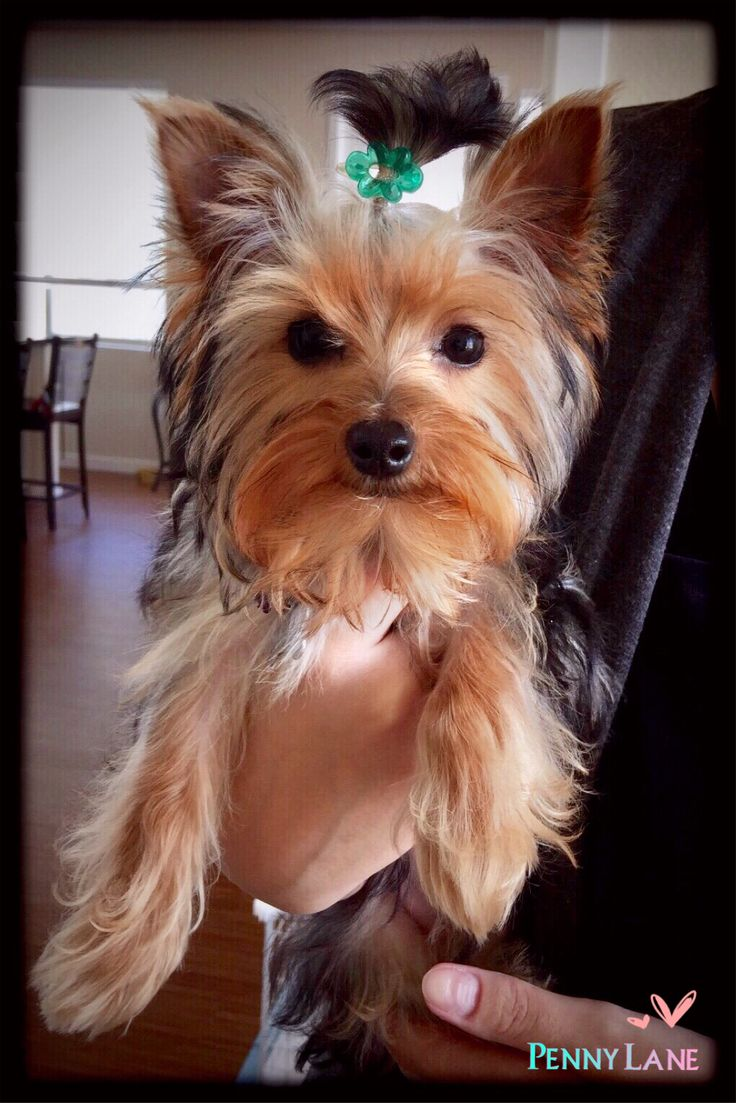 yorkie terrier picture 1000 ideas about yorkshire terriers on pinterest yorkie 3458