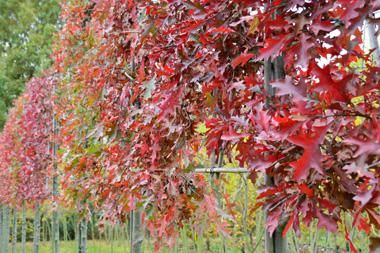Quercus palustris  Quercus palustris wird in unseren Sprache manchmal auch Sumpf-Eiche genannt und dieser Name zeigt schon, dass sie nasse Böden gut ertrage, obwohl die Sumpf-Eiche in der Natur eigentlich nicht in Sumpfgebieten vertreten ist