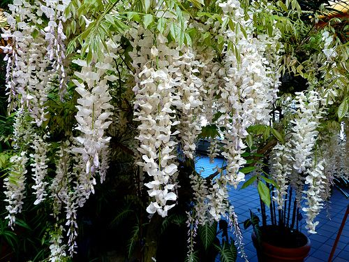 Wisteria. These were the flower's hanging (160,000 strands) in Twilight Breaking Dawn wedding scene. gorg.