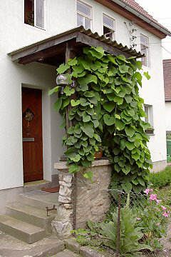 Dutchman's Pipe Vine (Aristolochia) - Summary with photos