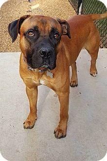 Parsippany, NJ Bullmastiff/Boxer Mix. Meet ODIN, a dog