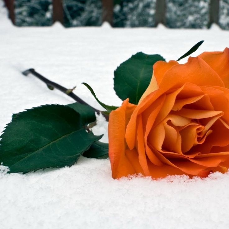1000 images about all about android on pinterest - Rose in snow wallpaper ...