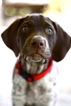 German short haired pointer- March cant get here fast enough!