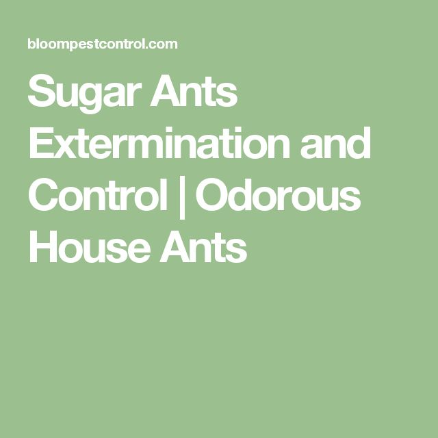 Sugar Ants Extermination and Control | Odorous House Ants