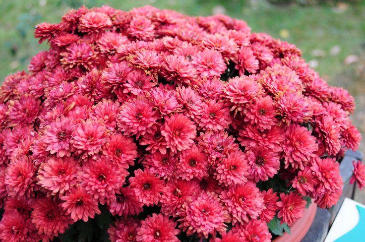 dumitrite - flowers
