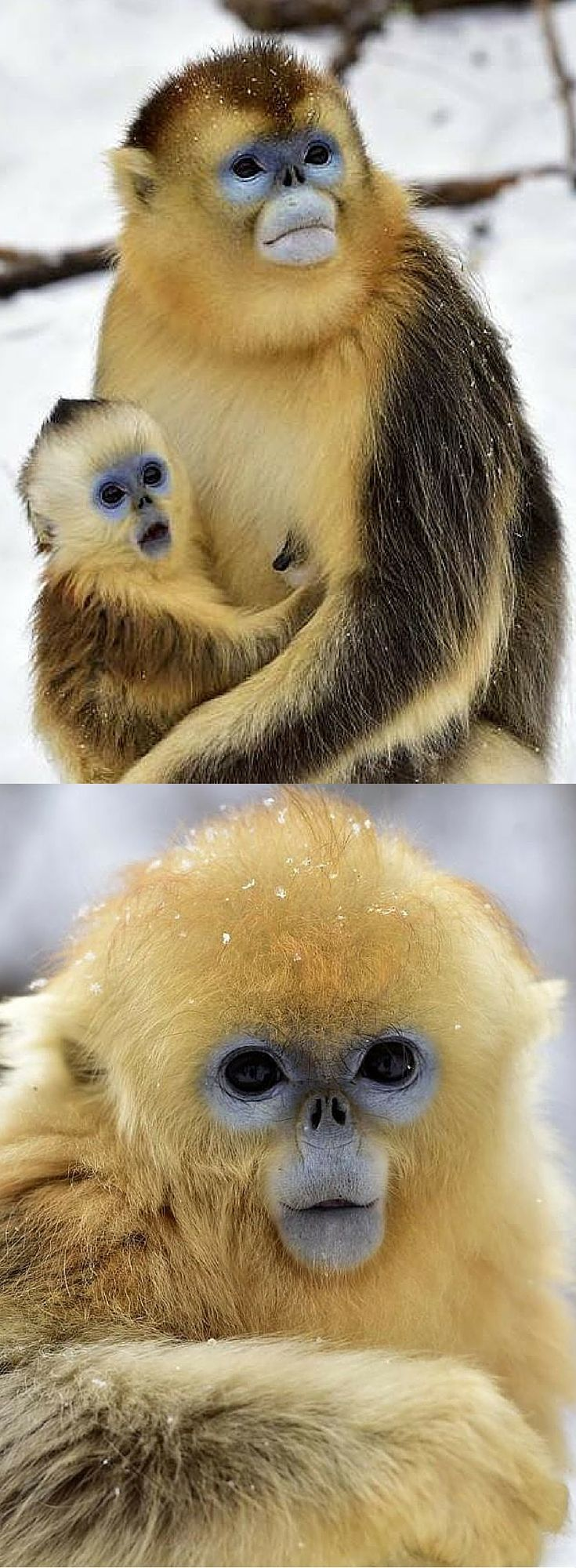 Beautiful golden snub-nosed monkeys in China's snowy Shennongija Nature Reserve