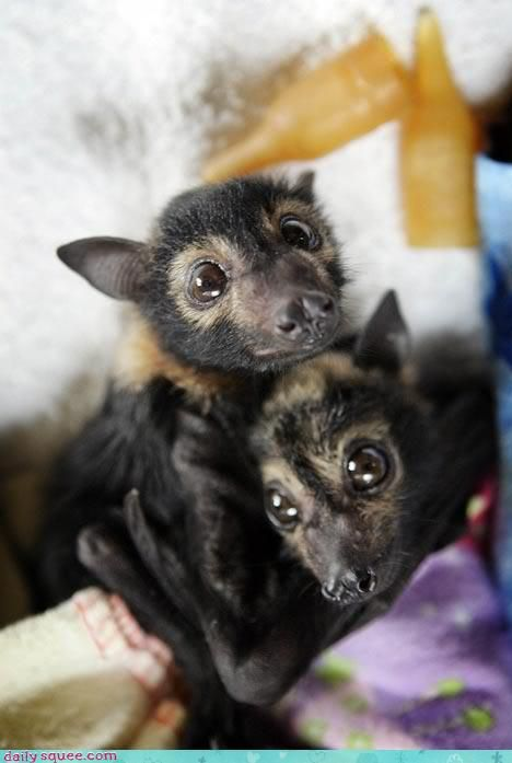 my dogs look like this a lot. chihuahuas are just grounded bats.