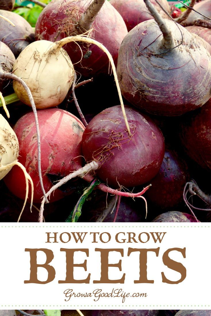 How To Grow Beets From Seed To Harvest Growing Beets Growing Vegetables Easy Vegetables To Grow