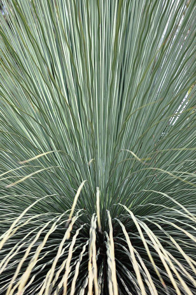 https://flic.kr/p/uoihSH   Australian National Botanic Gardens   Xanthorrhoea :: © Gabriella Tagliapietra / Pinch River