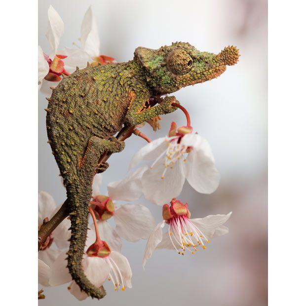 Adult male Rosette-nosed True Chameleon  Photo by Igor Siwanowicz  http://www.telegraph.co.uk/earth/earthpicturegalleries