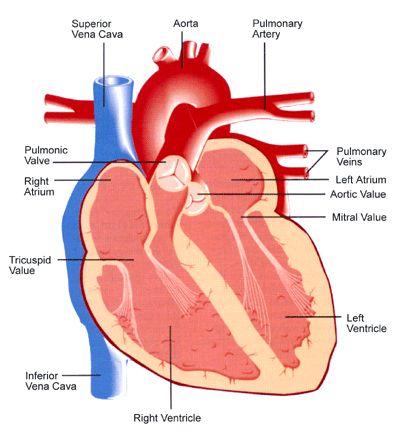 73 best images about Congestive heart failure on Pinterest