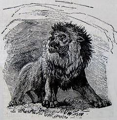 Cave Lions were the largest cat that ever lived, larger than modern day lions, almost 5 feet tall at the shoulder. Paintings of  have been found in caves of Europe and Asia, and even an ivory sculpture.  Some migrated to North America 100,000 years ago.  They became extinct around 10,000 years ago.