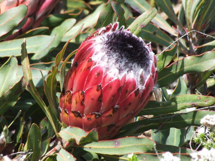 Black bearded Protea