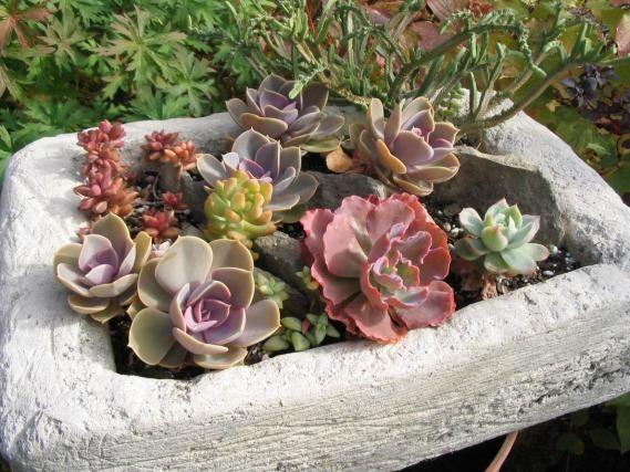 Suculentas em climas frios - Sim, pode! | Belas Jardinagem