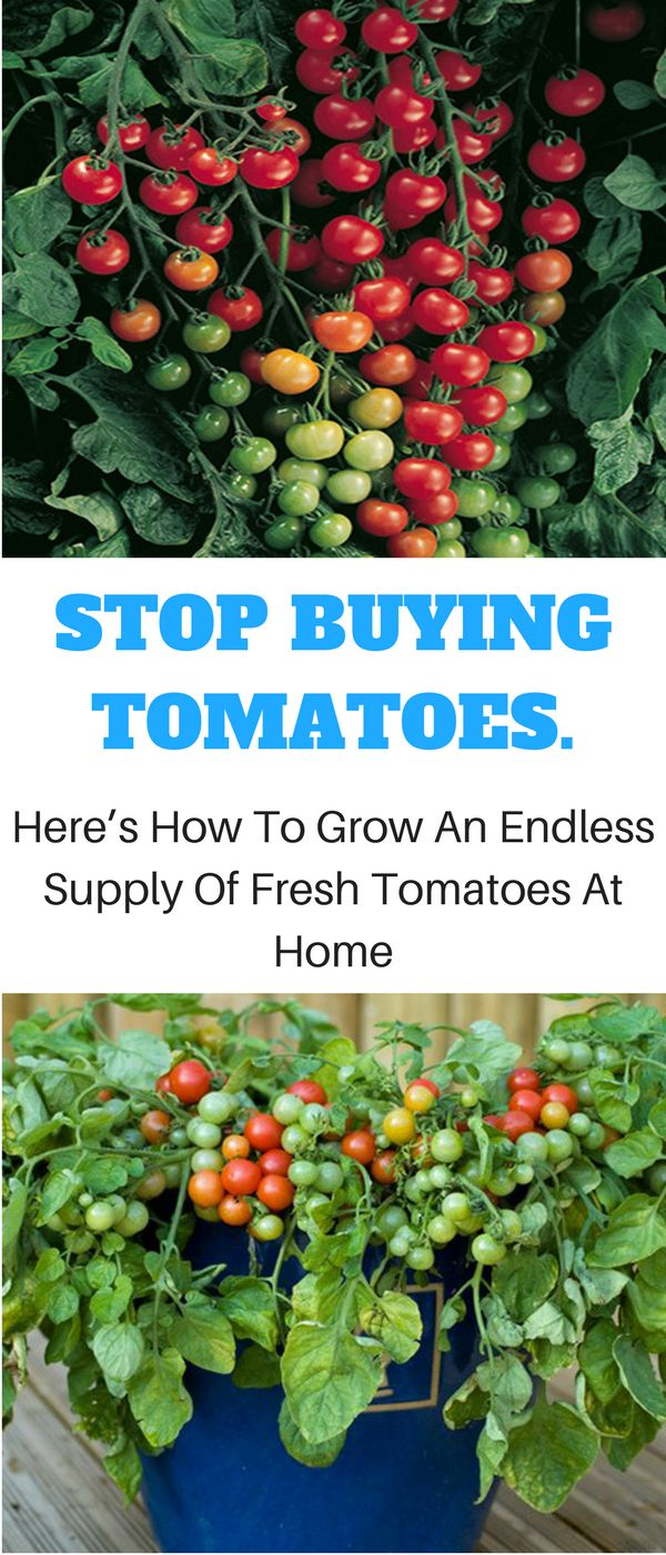 25 best ideas about growing tomatoes in containers on pinterest plants in pots growing - Best tomato plants for container gardening ...